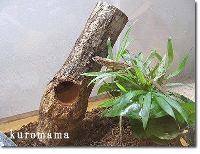 チチとママの気ままな節約日記-カナヘビ