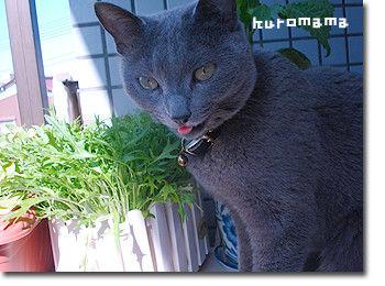 チチとママの気ままな節約日記-猫草