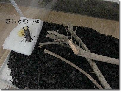 チチとママの気ままな節約日記-カブトムシ